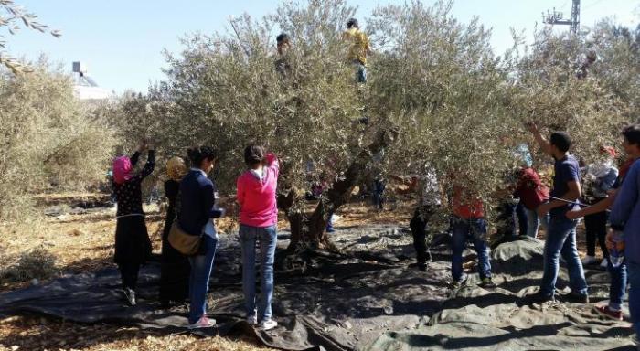الاحتلال يقمع المشاركين في قطف الزيتون